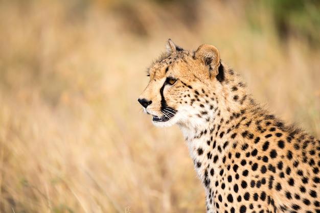 Primo piano di un ghepardo tra l'erba