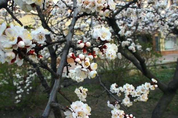 Primo piano di fiori di ciliegio in giardino con erba verde - immagine di riserva. germogli e fiori giapponesi di fioritura di sakura sul cielo chiaro con lo spazio della copia.