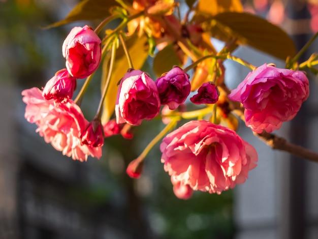 Primo piano del fiore di ciliegia nel giardino.