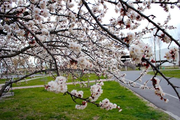 Primo piano di fiori di ciliegio in strada con erba verde - immagine di riserva. germogli e fiori giapponesi di fioritura di sakura sul cielo chiaro con lo spazio della copia.