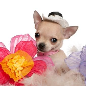 Primo piano del cucciolo della chihuahua, 2 mesi, cappello da portare e sedersi con i fiori