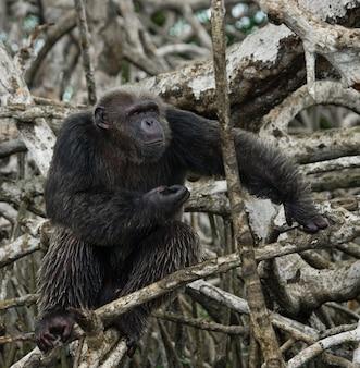 Primo piano su scimpanzé sui rami di mangrovie