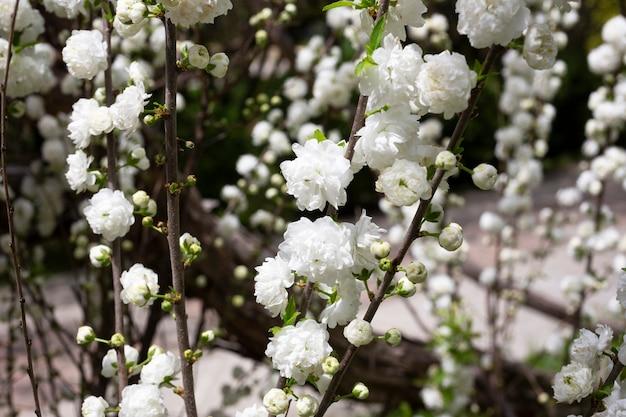 Primo piano del cespuglio di ciliegio cinese alba plena chiamato prugna cinese o mandorla nana in fiore close up sfondo floreale di foto dettagliate