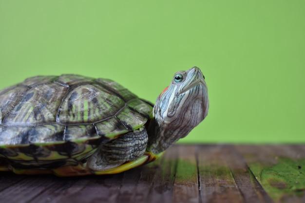 Chiuda in su di una tartaruga con le orecchie rosse cinese