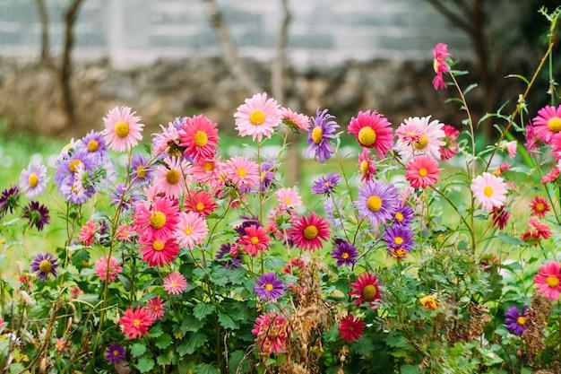 Primo piano dei crisantemi nel giardino di erba dalla recinzione di pietra.