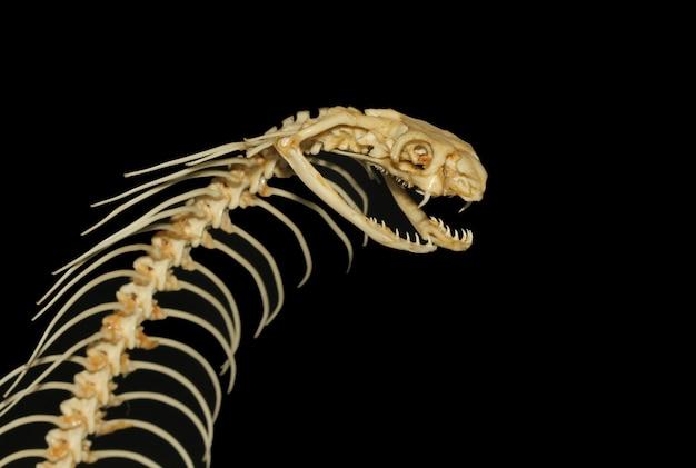 Chiuda sull'osso del serpente della cobra. ophiophagus hannah