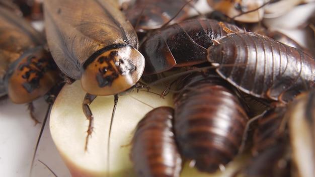 Chiuda sulla famiglia di scarafaggi mangia cibo sul piatto in cucina, filmati 4k. animali con germi e sporcizia.