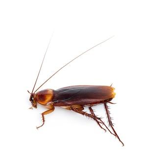 Primo piano su insetto scarafaggio isolato