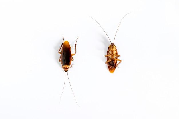Primo piano di scarafaggio isolato su sfondo bianco