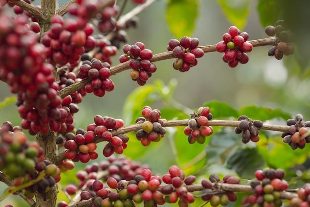 Chiuda sulla pianta del caffè con i chicchi di caffè maturi - rossi sugli alberi
