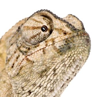 Primo piano del camaleonte comune, chamaeleon di chamaeleo isolato