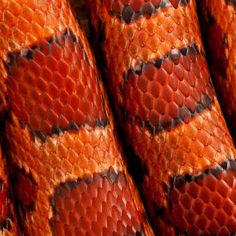 Primo piano di pelle di serpente di mais o di pelle di serpente di ratto rosso, pantherophis guttattus