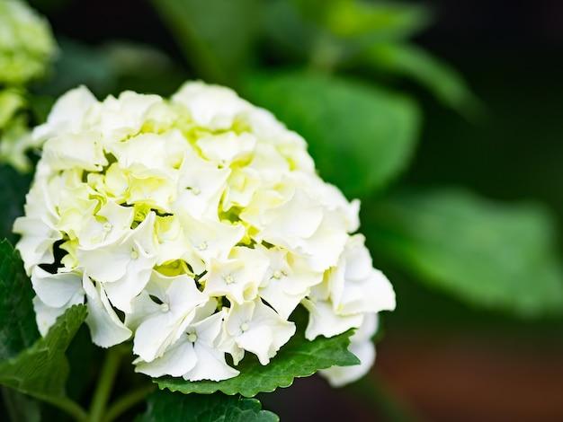 Chiuda sui fiori crema di ribellione dell'ortensia bianca paniculata.
