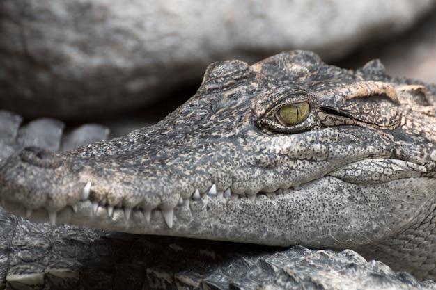 Primo piano una testa di coccodrillo