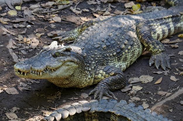 Chiuda sul resto del coccodrillo vicino al fiume in tailandia.