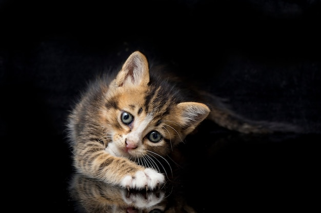 Primo piano del gattino calico sveglio