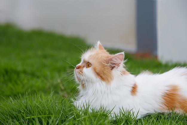 Primo piano di un simpatico gatto peloso seduto sull'erba