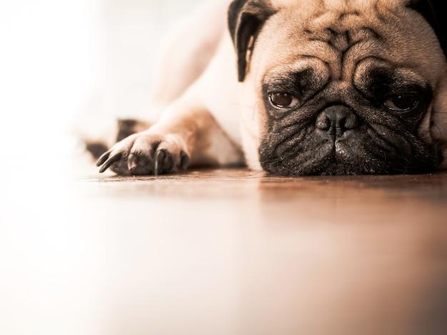 Chiuda su del cane sveglio del carlino che si riposa sul pavimento di legno a casa.