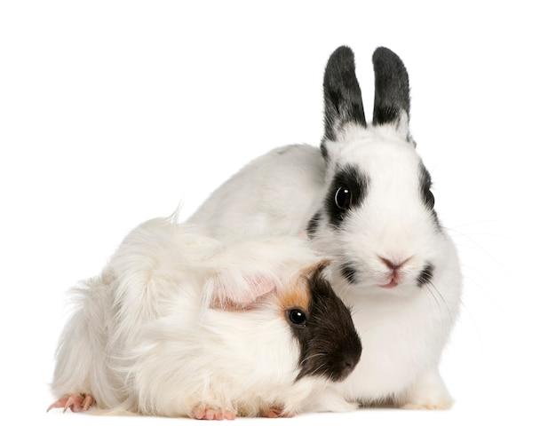 Primo piano su coniglio carino e cavia isolato