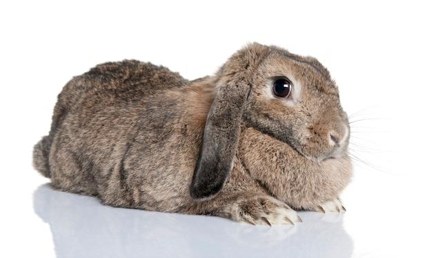 Primo piano su coniglio carino isolato