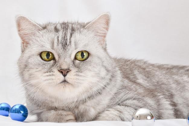 Primo piano di un simpatico gatto scozzese in una striscia grigia che giace accanto a un ramo di natale