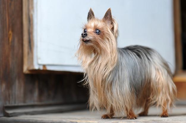 Chiuda sul cane sveglio dell'yorkshire terrier