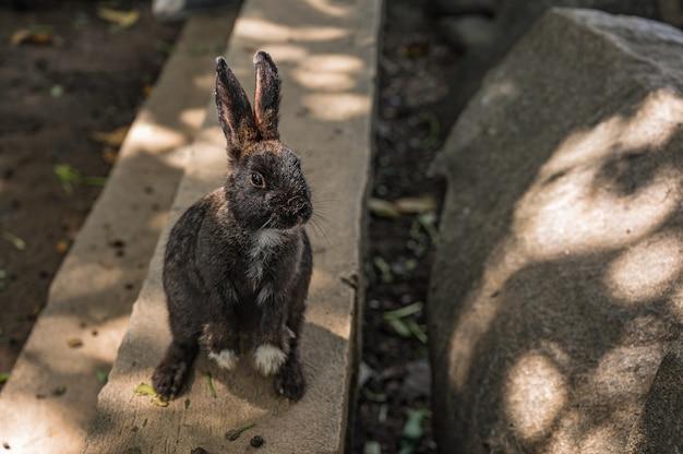 Close up cutie coniglio nero in wat pra putthabat phu kwai ngoen a chiang khan district loei thailand.chiang khan coniglio tempio o wat pra putthabat phu kwai ngoen