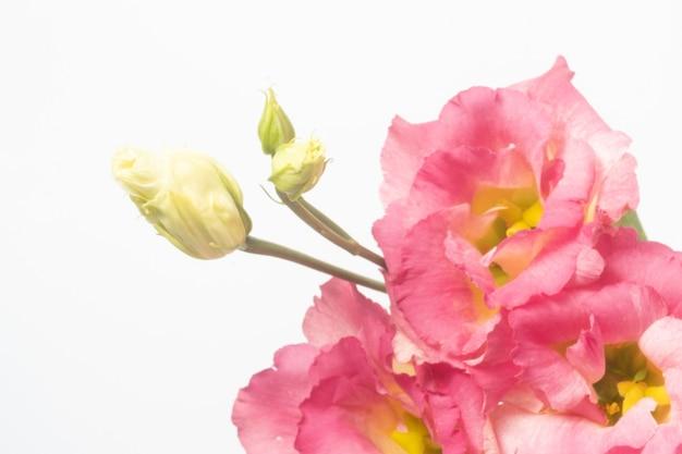 Primo piano di eustoma rosa scuro isolato su superficie bianca.