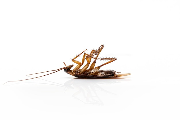 Close up scarafaggio morto isolato su uno sfondo bianco.