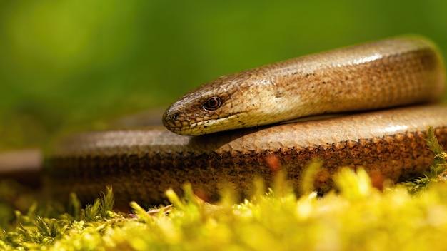 Primo piano della vipera sorda sdraiato su un terreno coperto di muschio nella natura primaverile.