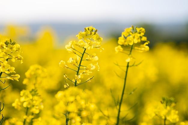 Chiuda sul dettaglio delle piante di colza gialle di fioritura nel campo dell'azienda agricola agricola in primavera.