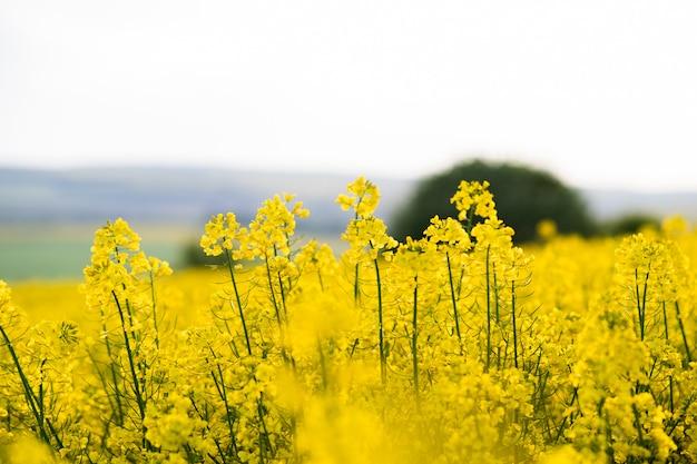 Close up dettaglio di fioritura di colza gialla piante in azienda agricola campo