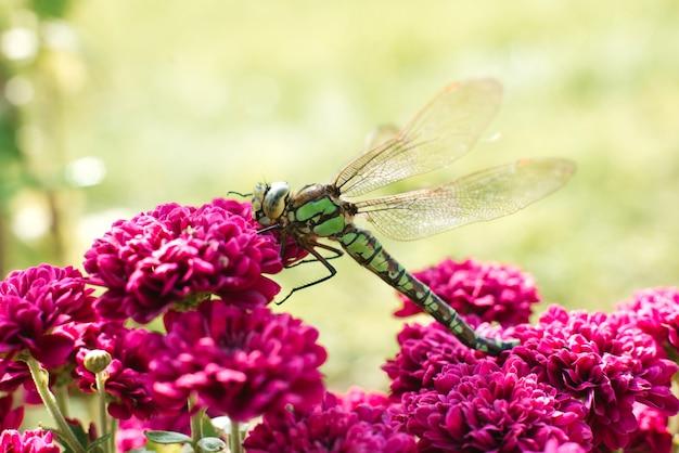 Dettaglio del primo piano di una libellula. una libellula verde si siede sui fiori viola del crisantemo