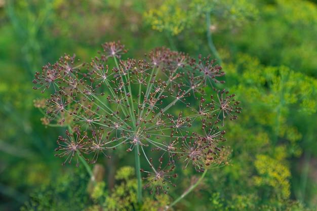Primo piano di baccelli di semi di erbe di aneto durante la fioritura di ombrelli di aneto con semi che crescono nel giardino delle erbe