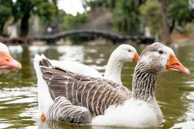 Primo piano di un'oca domestica su un lago in una città. animale da fattoria.