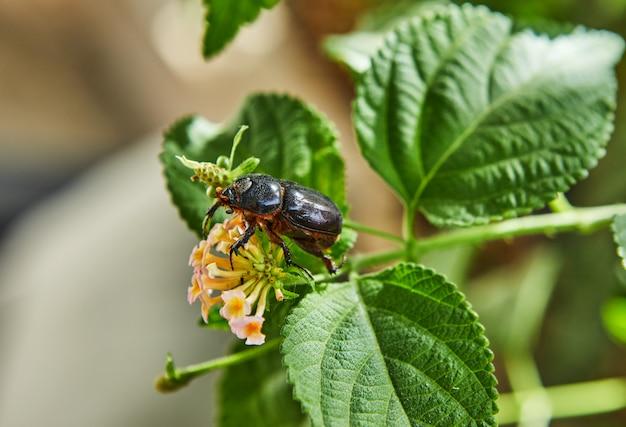 Un primo piano di uno scarabeo stercorario di terra su fogliame verde con un fiore un giorno soleggiato luminoso
