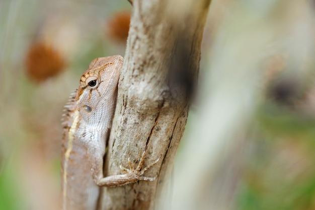 Chiuda sulla lucertola del giardino orientale sull'albero di sfondo sfocato.