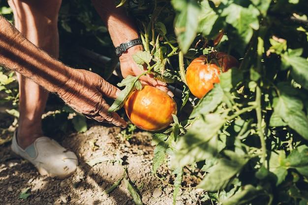Primo piano delle mani di un uomo anziano in procinto di raccogliere pomodori maturi dal suo frutteto. uomo adulto che raccoglie grandi pomodori dal suo giardino personale.