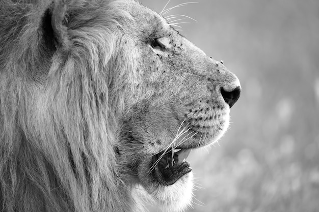 Primo piano sulla faccia di un grande leone in natura