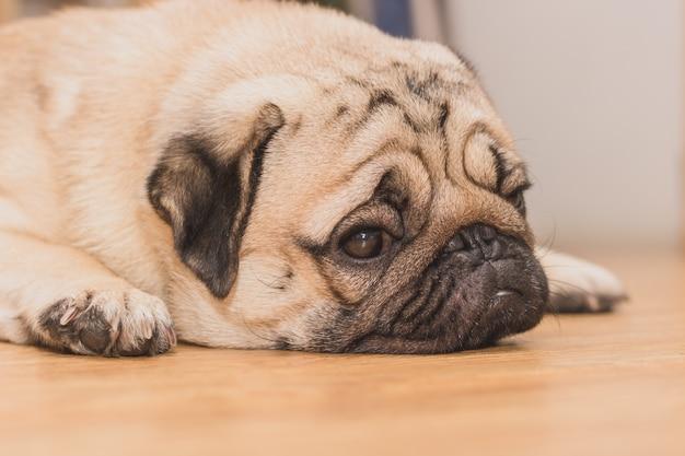 Fronte del primo piano di sonno sveglio del cucciolo di cane del carlino. si spera che il capo tornerà presto