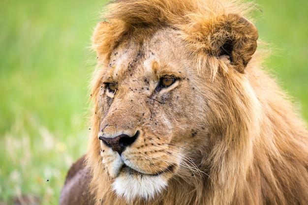 Il primo piano del volto di un leone nella savana del kenya