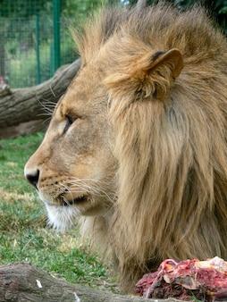 Primo piano del volto di un leone maschio