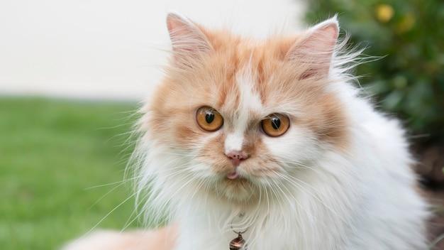 Primo piano la faccia di un gatto persiano sta fissando nel prato.