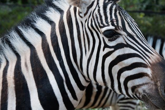 Primo piano del volto di una zebra