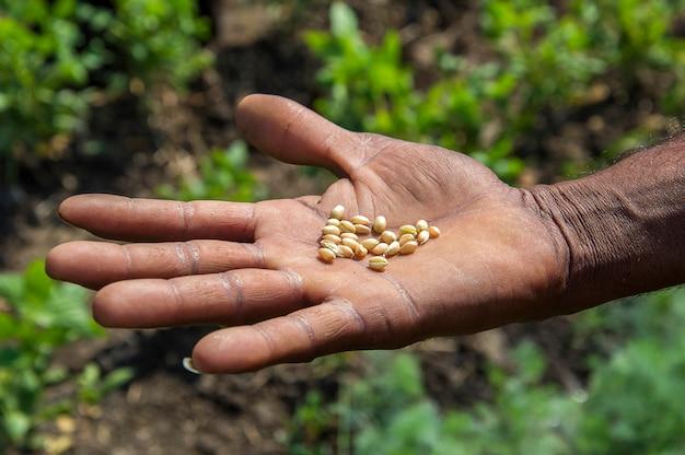 Chiuda in su delle mani dell'agricoltore che tengono i chicchi di frumento