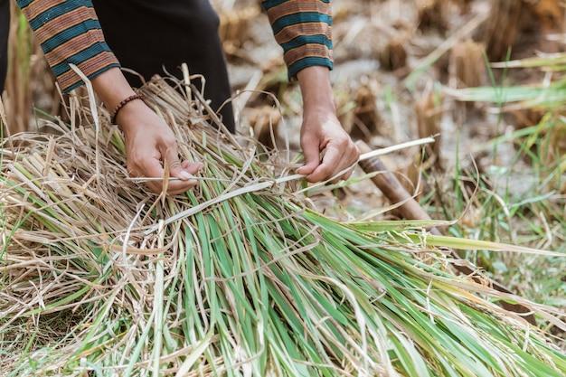Chiuda in su delle mani degli agricoltori che legano le piante di riso dopo la raccolta nei campi