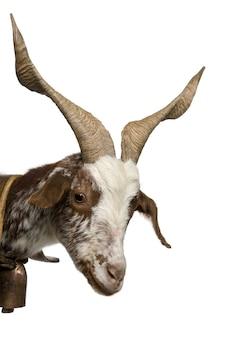 Close-up di capra femmina rove, in piedi