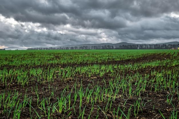 Avvicinamento. campo per l'agricoltura, giovani germogli di grano invernale o colture di cereali iniziarono a germogliare dal terreno