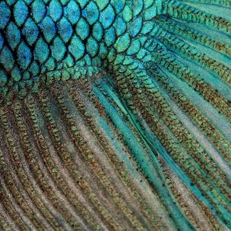 Primo piano su una pelle di pesce - pesce siamese blu di combattimento - fondo di struttura di betta splendens