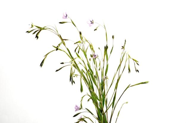 Primo piano sui fiori di lino, ripresa in studio